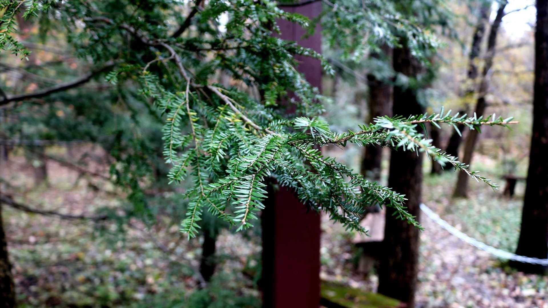 How to grow eastern hemlock tree