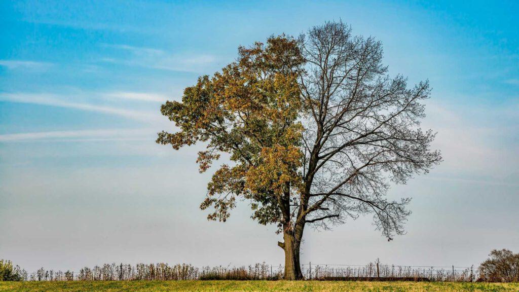 half dead tree